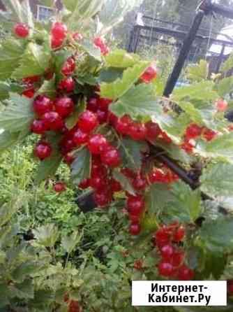 Красная смородина Новосибирск