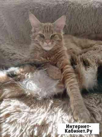 Котята мейн-кун от чемпиона мира Калининград