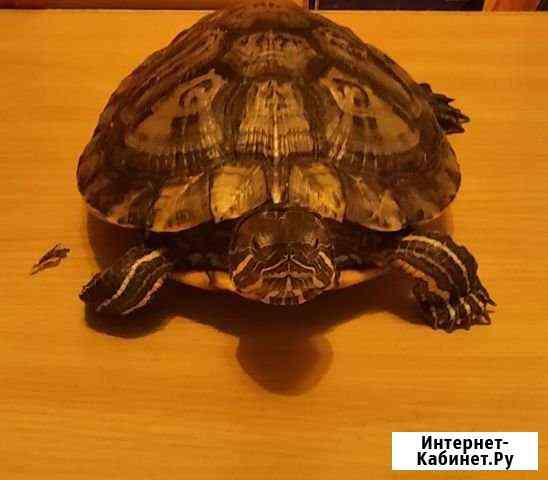 Черепаха Красноухая Нижний Новгород
