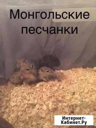 Малыши Монгольских песчанок Казань