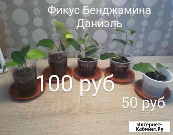 Фикус Бенджамина Уфа