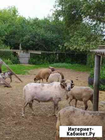 Овцы Гагино
