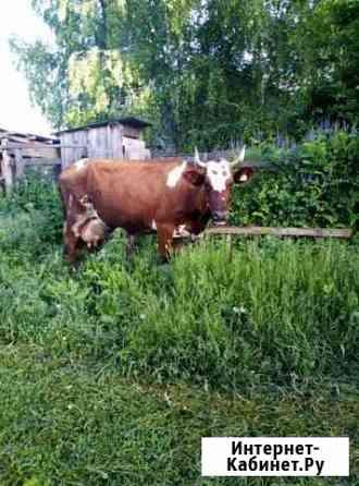 Корова Шаран