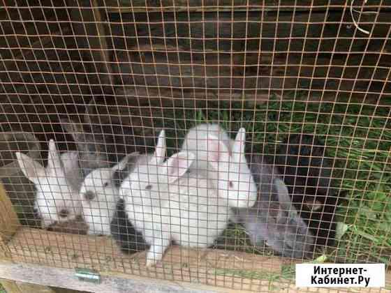 Кролики для разведения Санкт-Петербург