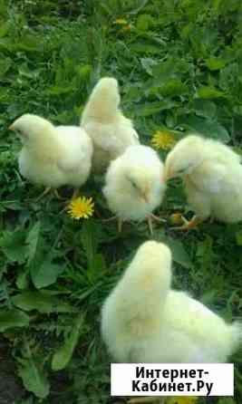 Цыпленок Щекино