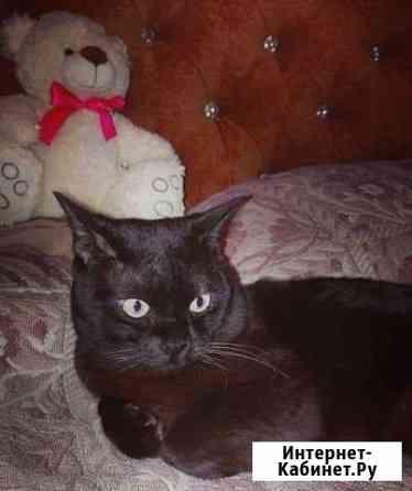 Бурманский котс отличной родословной. Вязка Чебоксары