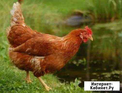 Куры несушки.Цыплята бройлеры 1-28 дней.Утята Смоленск