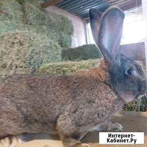 Кролик Медведовская
