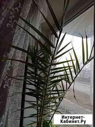 Финиковая пальма Венев