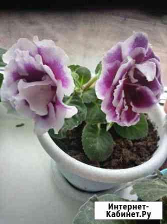 Глоксиния фиолетовая с белым кантом махровая Нов.г Ульяновск