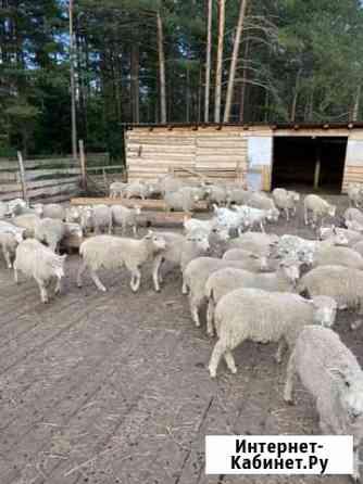 Продам Баранов бычков коров Томск