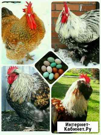 Яйцо инкубационное породистых кур Тольятти
