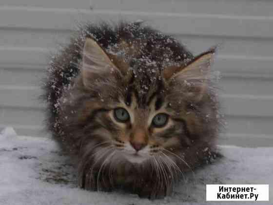 Котята породы норвежская лесная с документа Ханты-Мансийск