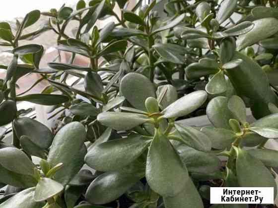 Денежное дерево Тюмень
