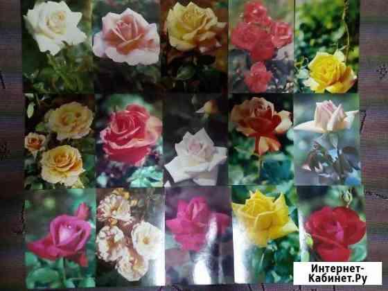 Открытки СССР розы с указанием сорта Бийск