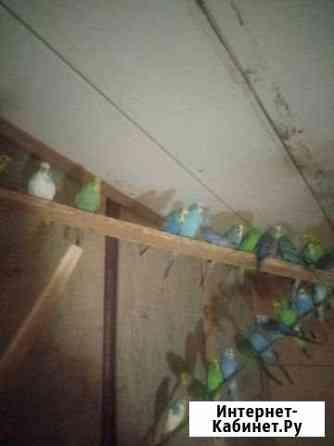 Молодые попугаи карела и волнистые Тихорецк