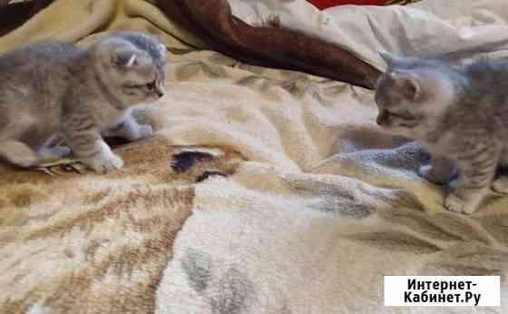 Породистые шотландские котята(скоттиш-страйт/фолд) Калуга