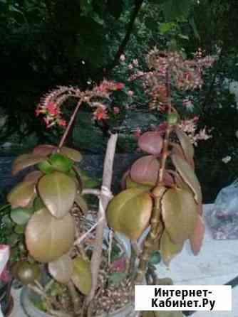 Комнатные цветы : зеферантес белоснежный, хлорофит Горячий Ключ