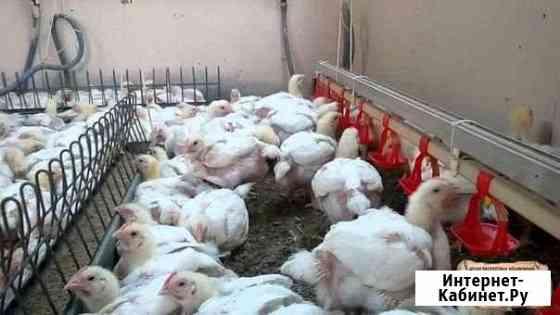 Бройлерные цыплята, суточные и подрощенные Оренбург