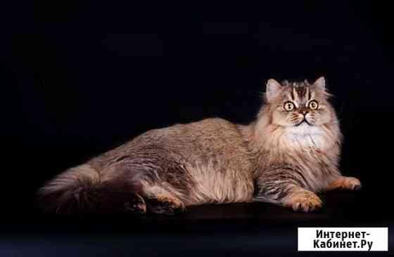 Бесплатно породистые кошки и коты Ярославль