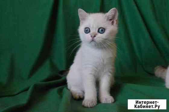 Шотландские котята Ульяновск