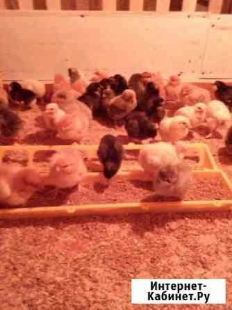 Цыплята от породистых Кур - Несушек Борковская Бор Кемерово