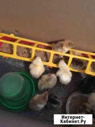 Цыплята Казань