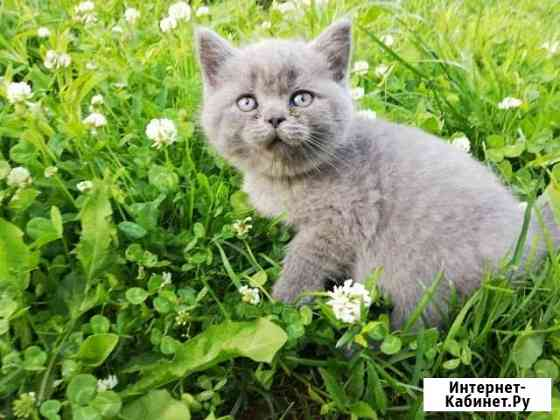 Британские котята Чехов