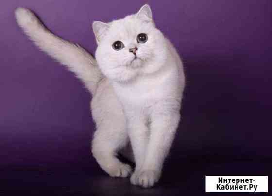 Открыт для вязки британский кот чемпион Москва