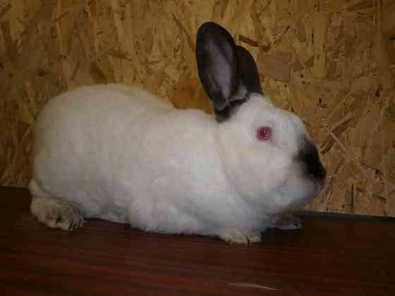 Продаю кроликов Калифорнийской породы Домодедово