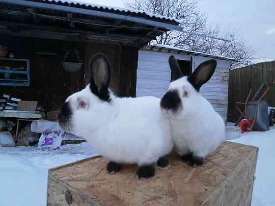 Кролики мясной породы Домодедово