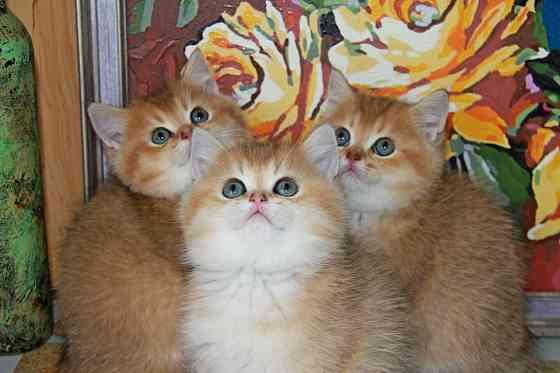Британские котята Севастополь