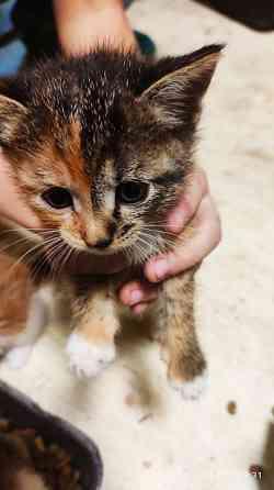 Котята от кошки крысолова Павловский Посад