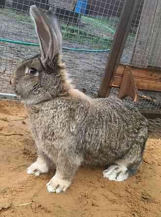 Кролики для разведения и откорма Санкт-Петербург