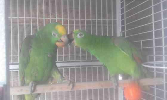 Амазоны птенцы говорящие выкормыши от заводчика Нижний Новгород
