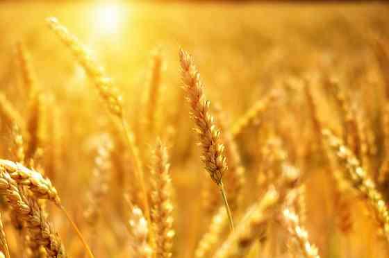 Пшеница 3 класса оптом от производителя Урюпинск