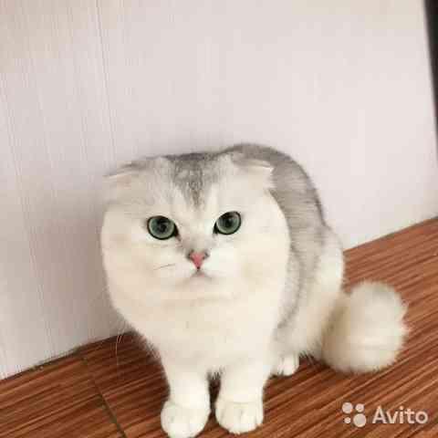 Коты на вязку, чистокровные Кострома