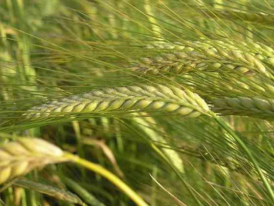 Семена ярового ячменя Зерноград