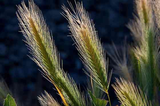 Зерноотходы ячменные, мучка от производителя Урюпинск