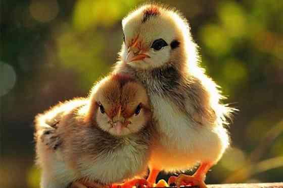 Домашняя птица. Цыплята, Утята, Цесарята, Гусята, Индюшата Краснодар