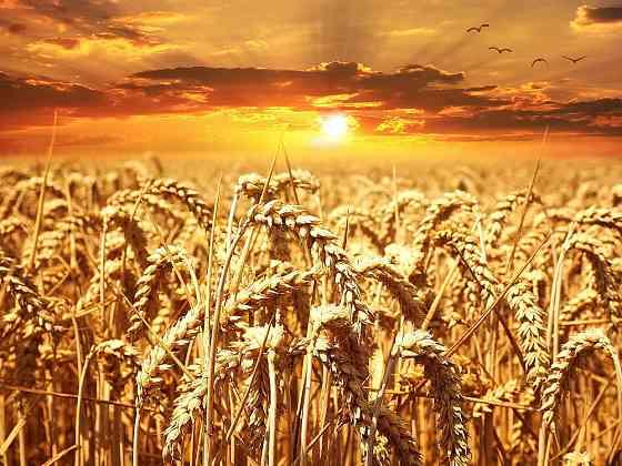 Пшеница 4 класса оптом от производителя Пенза