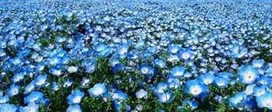 Семена льна сорт Небесный Зерноград
