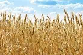 Семена пшеницы полба янтара Зерноград