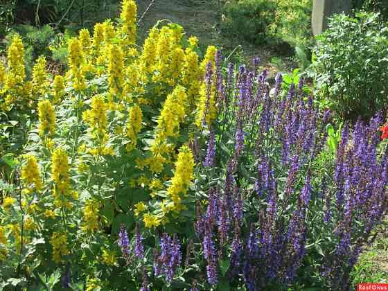 Желтый цветок - вербейник Саратов