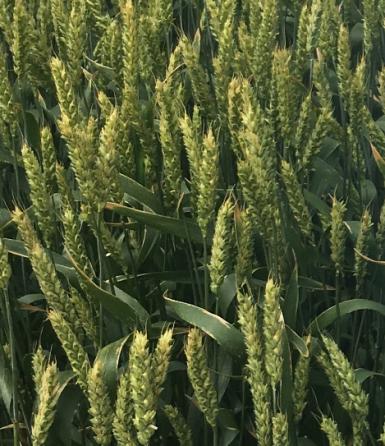 Семена озимой мягкой пшеницы сорт Танаис ЭС/РС1/РС2 Зерноград