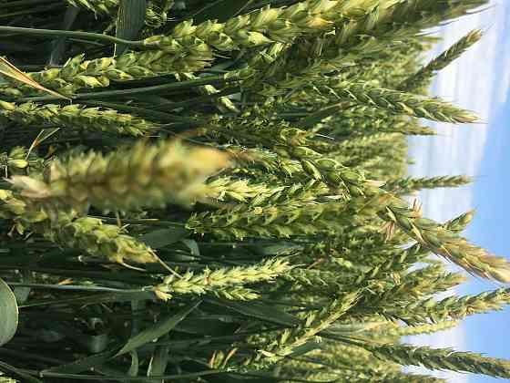 Семена озимой мягкой пшеница сорт лилит эс/рс1/рс2 Зерноград