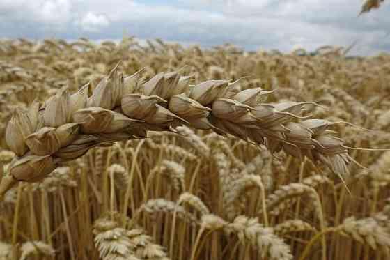 Продаю семена озимой пшеницы сорт аскет эс Зерноград