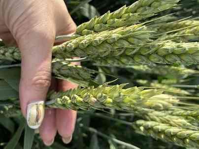 Семена озимой пшеницы этюд эс/рс 1 Зерноград