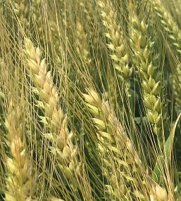Семена озимой мягкой пшеницы сорт станичная эс/рс1/рс2 Зерноград