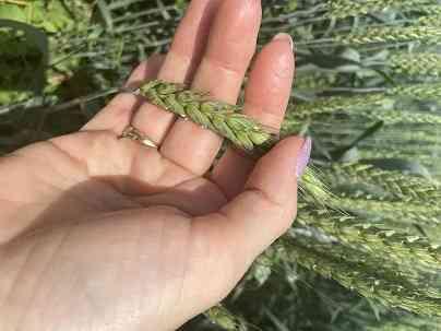 Семена озимой пшеницы сорт Гром эс/рс1 Зерноград